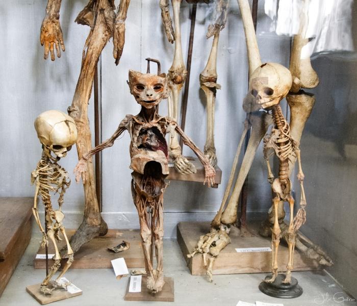 musée-anatomie-Montpellier-squelette