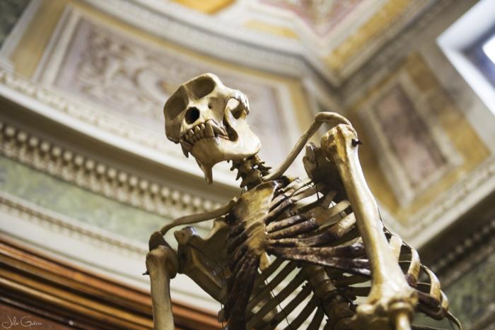 musée-anatomie-Montpellier-squelette-gorille