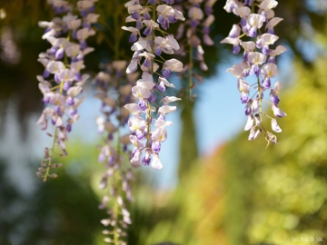 Glycine-printemps-photo