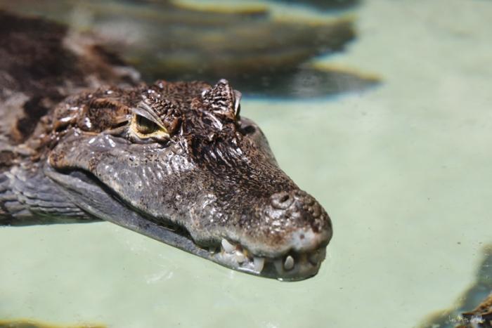caiman-zoo-lunaret-montpellier