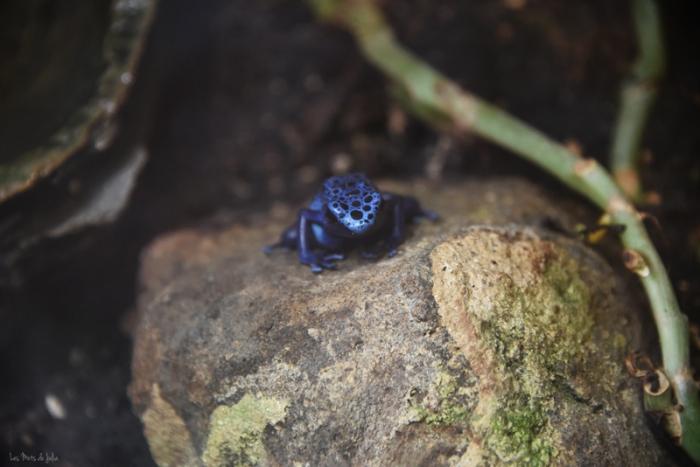 dendrobates-zoo-lunaret-grenouille-amazonie