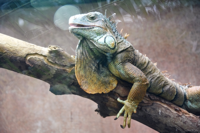 iguane-zoo-Montpellier-serre-amazonienne