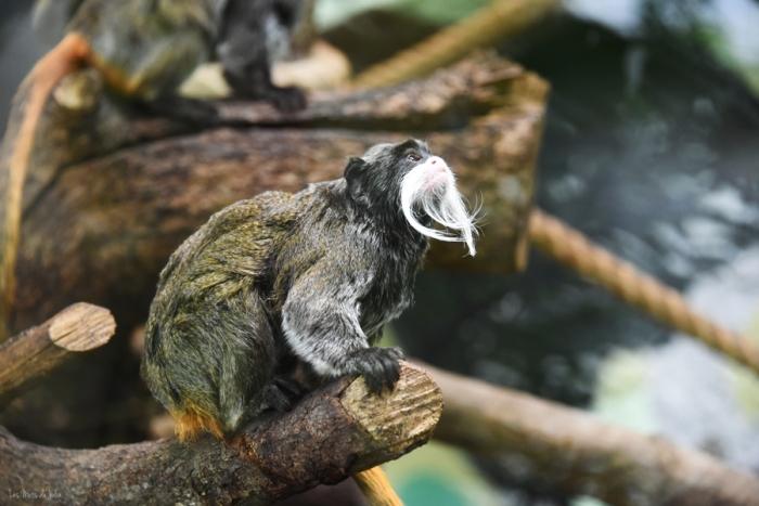 Tamarin-empereur-Zoo-Montpellier-amazonie