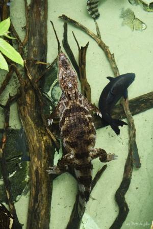 caiman-pacu-noir-serre-amazonienne-Zoo-Montpellier